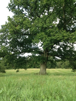 English Oak Tree